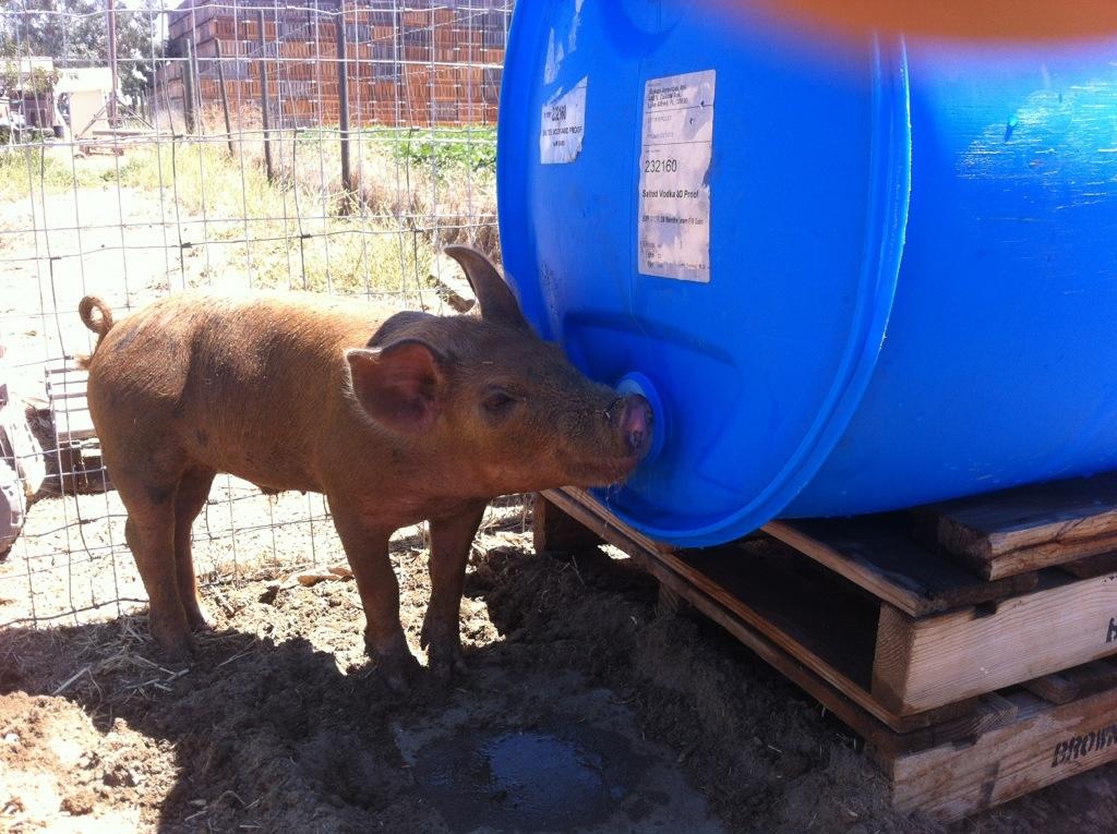 Image Gallery Pig Waterer